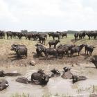 Bivalyhús rendelhető a Pro Vértes ökológiai gazdaságából