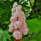 Különleges, telt virágú vadgesztenye a csákberényi Merán parkban
