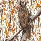 Rajzpályázat – 2020 év madara az erdei fülesbagoly