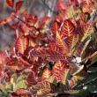 Az ősszel tűzvörösen pompázó cserszömörce a Vértes botanikai különlegessége